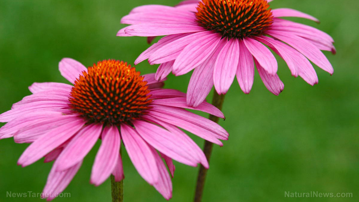 Echinacea tincture. Properties and application 21